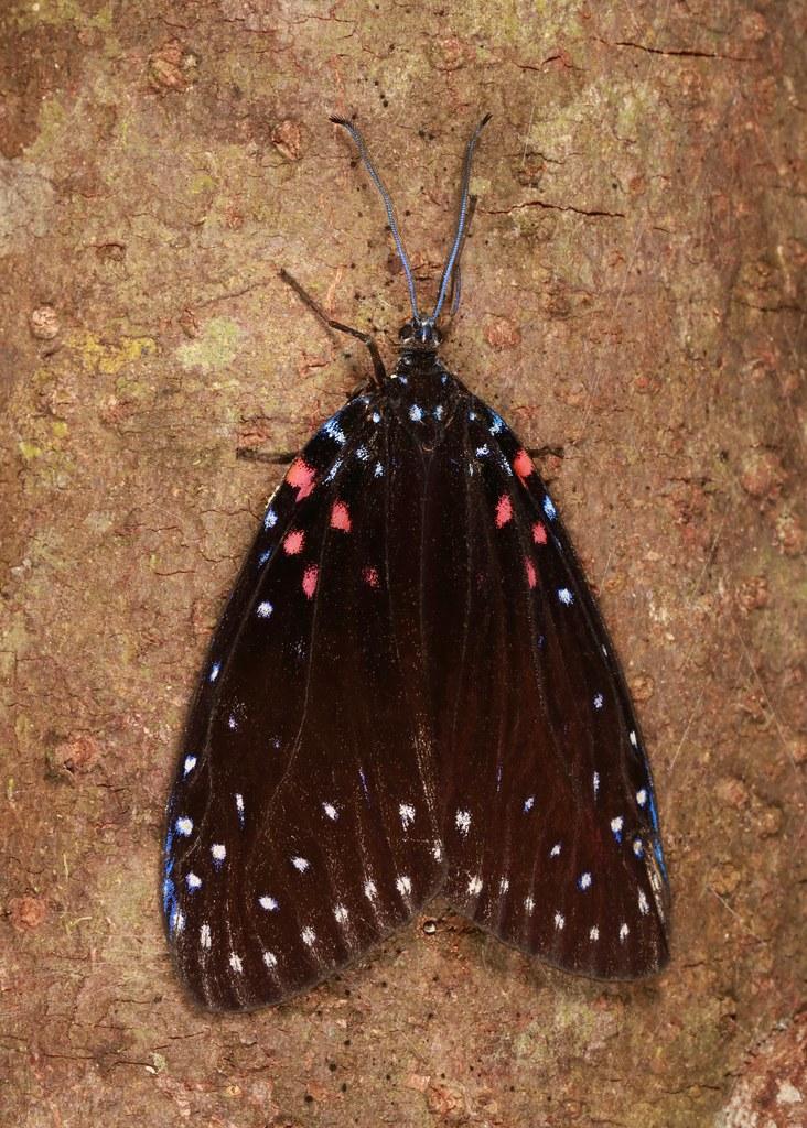 Chalcosiine Day-flying Moth (Amesia aliris, Chalcosiinae, Zygaenidae)