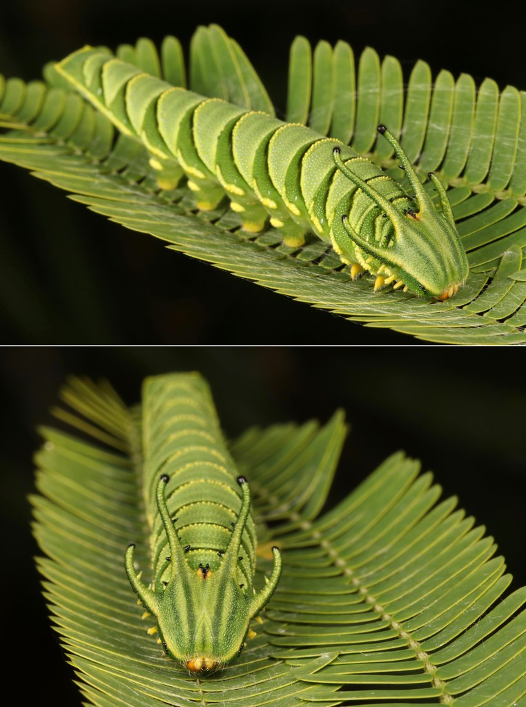"MUGSHOT - Pallid Nawab Butterfly ""Dragonhead"" Caterpillar (Charaxes (Polyura) arja, Charaxinae, Nymphalidae)"