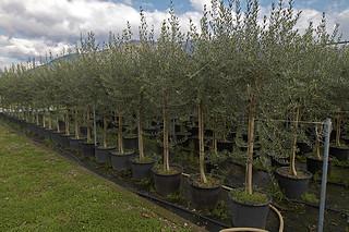 xylella piante olivo