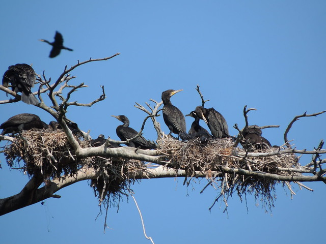 Great Cormorant colony, Curonian Spit