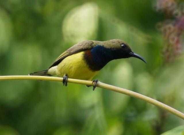 Olive-backed Sunbird, Cinnyris jugularis, Нектарница жёлтобрюхая