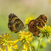 Silvery Checkerspot (left) Meadow Fritillary (right)