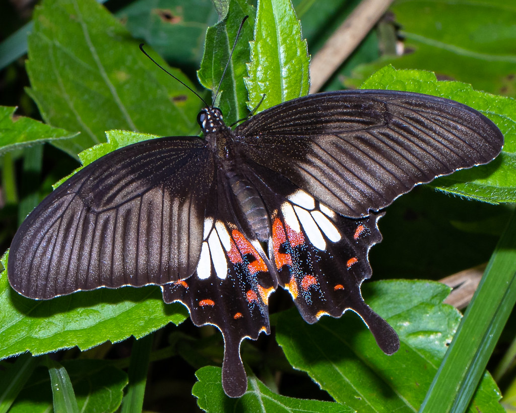 A female Common Mormon butterfly