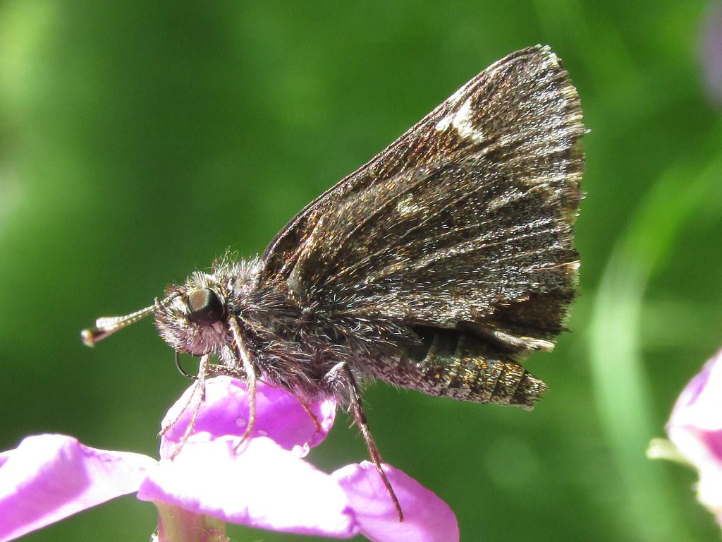 Common roadside skipper (Amblyscirtes vialis)