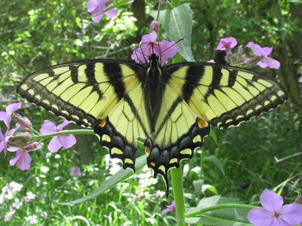 Eastern tiger swallowtail (Papilio glaucus), female