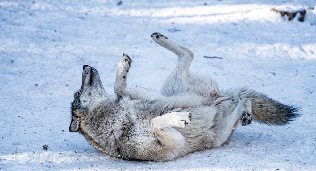 Wolf_100