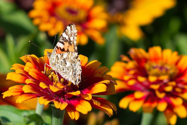 Papillon, ailes extérieures