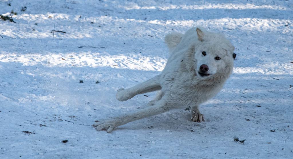 Wolf_85