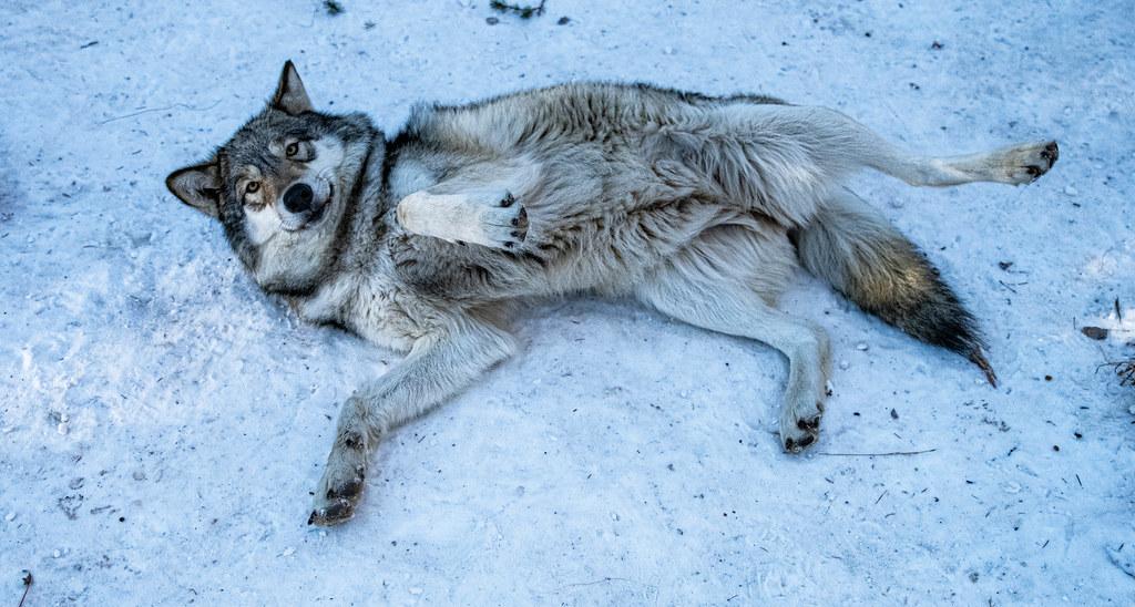 Wolf_67