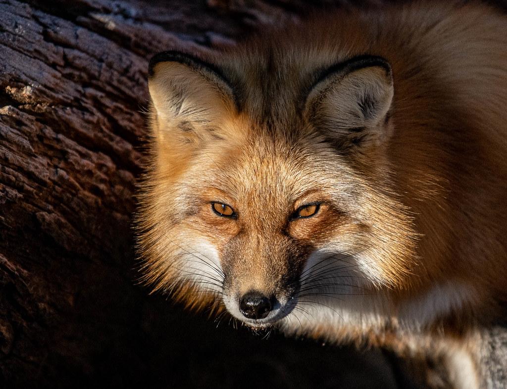 Red Fox_16