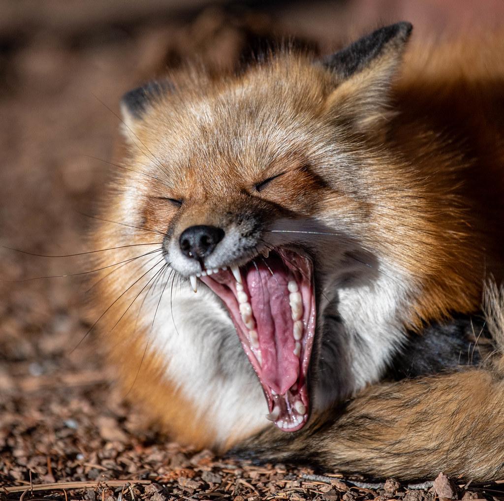 Red Fox_6