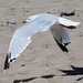 Ring-billed Gull - Adult - August