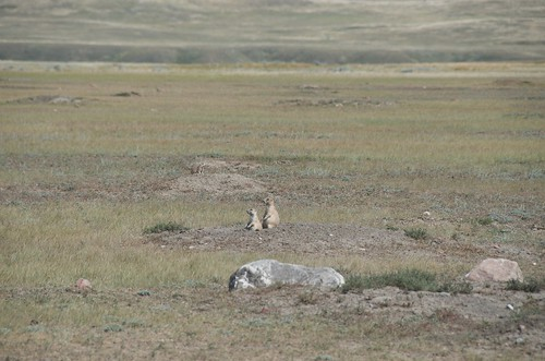Grasslands National Park West Block - Pair of Black Tailed Prairie Dogs