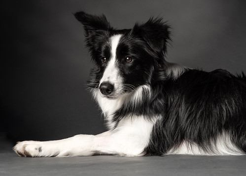 Border Collie Puppy | by Steven Penman Photography