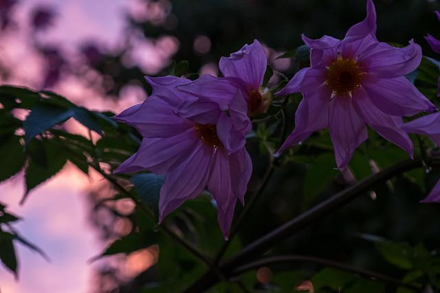 Dahlia imperialis キダチダリア in Dusk, Oakland, California, USA