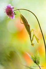 Mante religieuse-Mantis religiosa