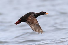 Surf Scoter. Isle Lake. Alberta. Lifer. Many thanks to Peter Stahl for this.