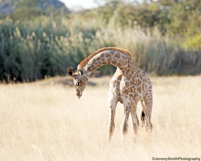 Southern Giraffe, Giraffe giraffe, Farmhouse Lodge, Matopos, Zimbabwe