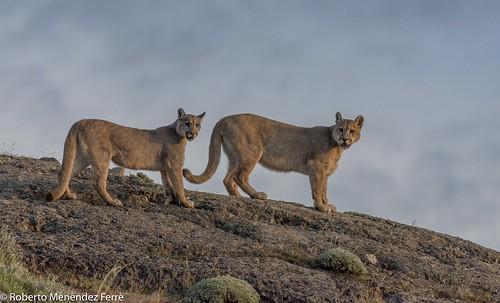 """""""Puma pups"""""""