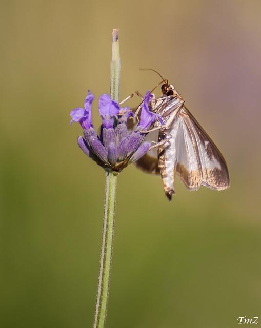 Le papillon et le brin de lavande !!