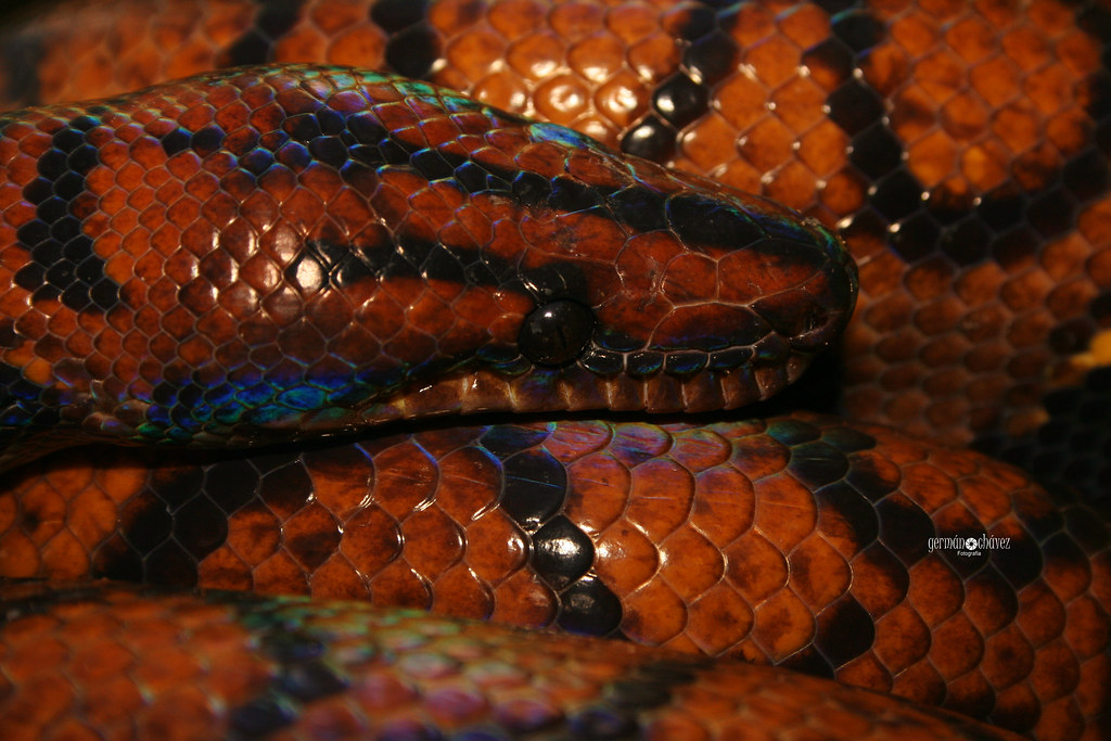 The Amazon rainbow boa (Epicrates cenchria gaigei)