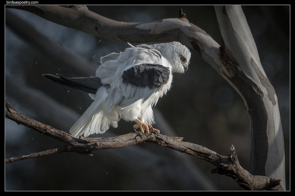Black-shouldered Kite: Shhhakken all Over