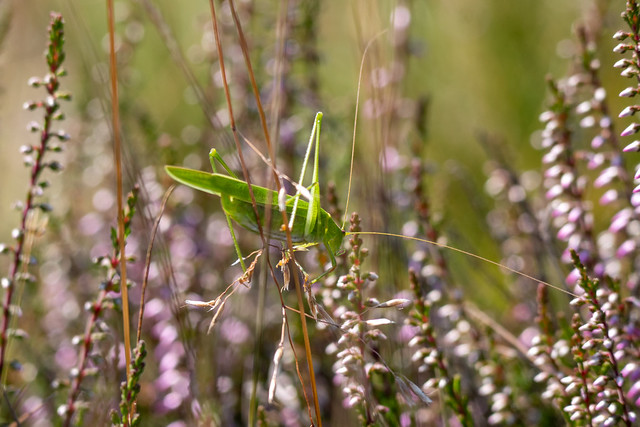 Grasshopper balancing in strong wind