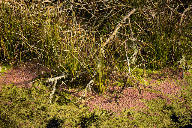 Azolla filiculoides in a pond (233/365)