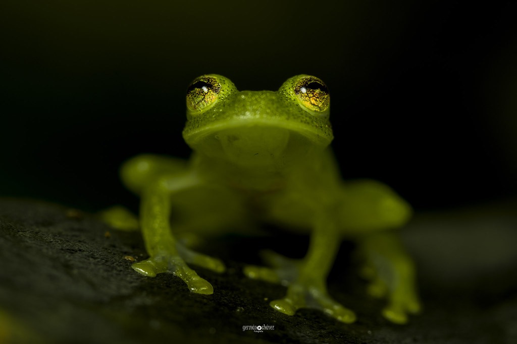 An Amazon glassfrog (Hyalinobatrachium carlesvilai)