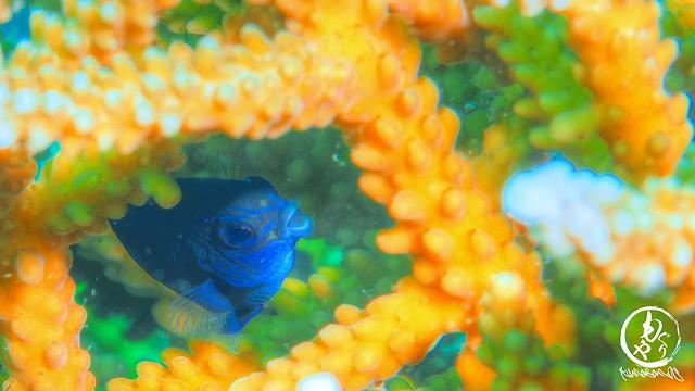 うまく撮れなかったのでHDR処理・・。クチビルがすごい!アツクチスズメダイ幼魚