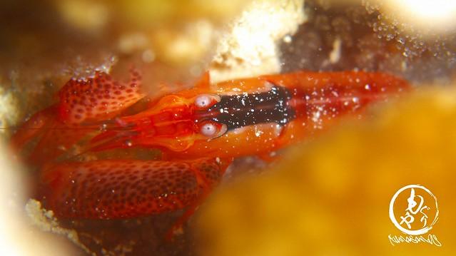 久しぶりに撮りました。。サンゴテッポウエビ