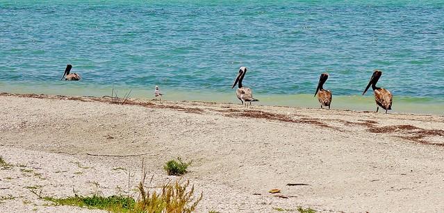 MEXICO, Yukatan, Am Golf von Mexiko,  Isla Aguada -Laguna Terminos, Vogelparadies, serie, 19219/11892
