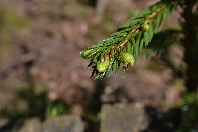 ....das gleiche geht auch bei den Nadelbäumen....