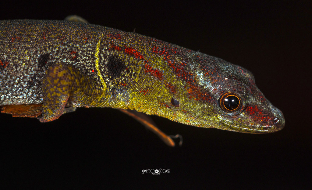 Spotted gecko (Gonatodes humeralis)