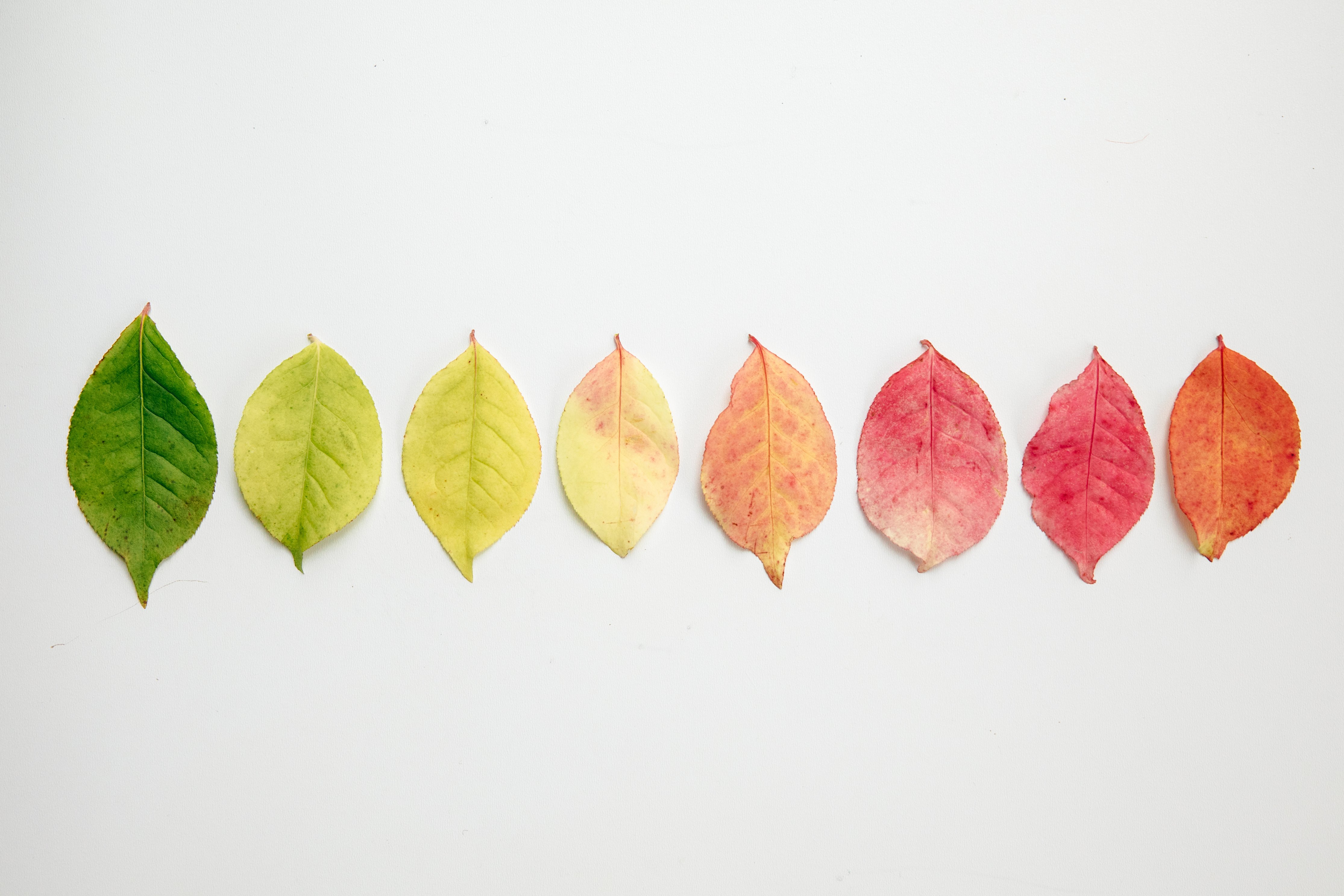 flat lay of autumn leaves changing colour. This image was taken by Matthew Henry on Burst