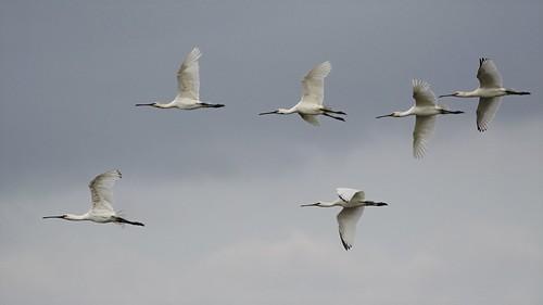 Spoonbills  -  Gibraltar Point Lincolnshire.