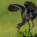 Juvy Glossy Ibis