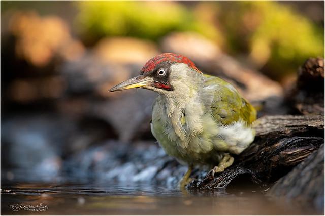 Green Woodpecker (male)