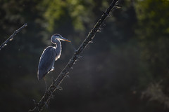Grand héron / Great blue Heron