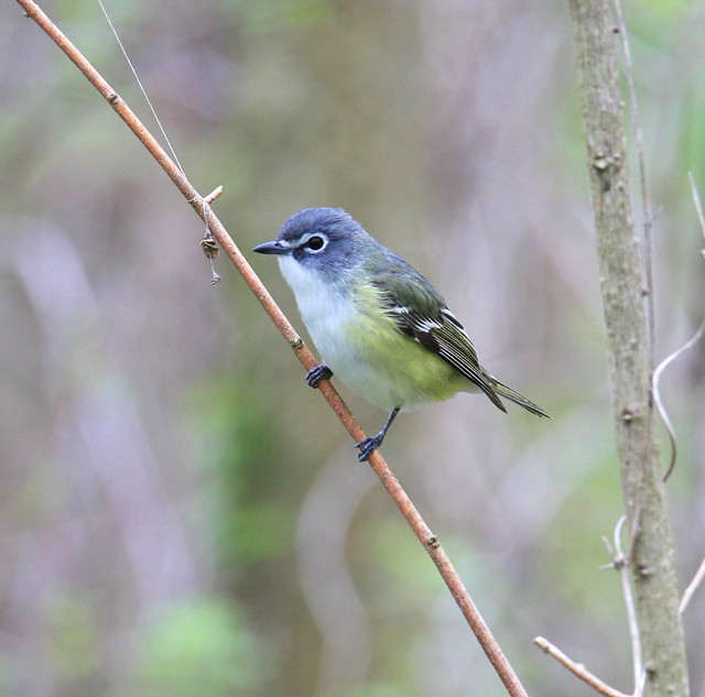 Blue-headed Vireo-Viréo à tête bleue ( Richard )