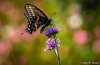 Minneapolis - Black Swallowtail