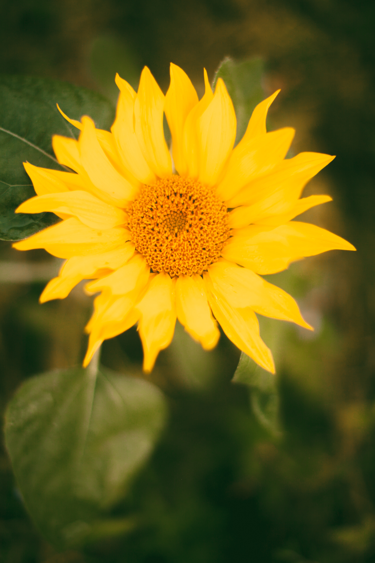 sunflowerish-65