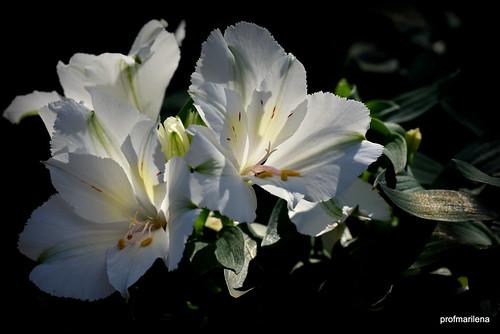 DSC_0173 my candid Peruvian lilies  still alive & kicking
