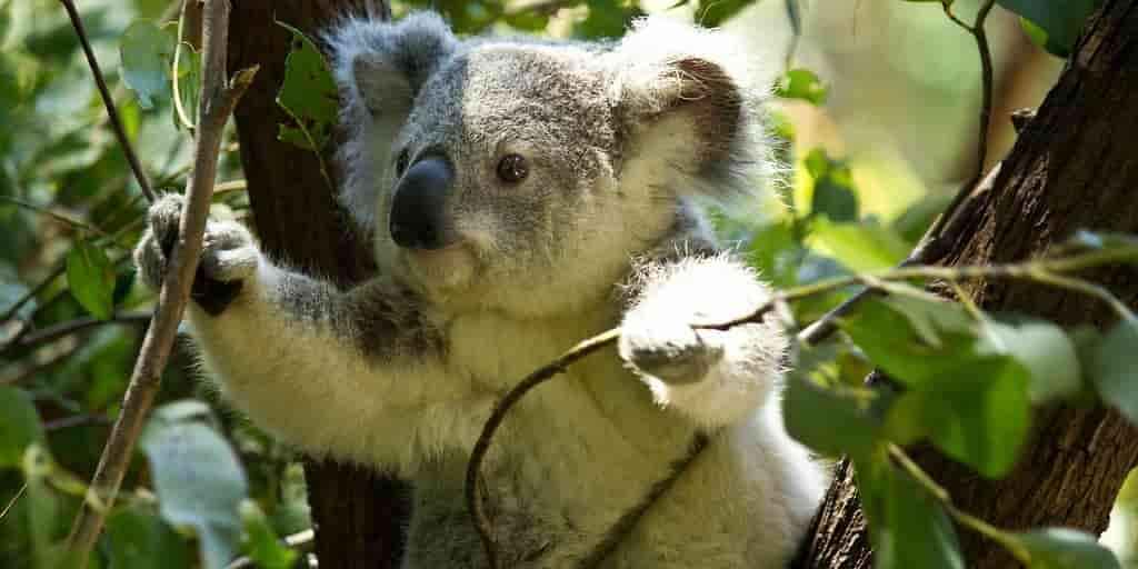 koalas-greffes-fécales-adaptation-à-un-nouveau-régime