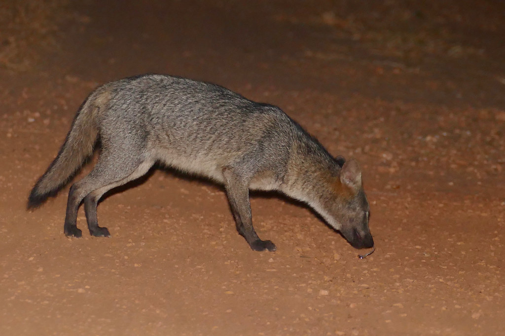Crab-eating Fox (Cerdocyon thous) sniffing some bug ...