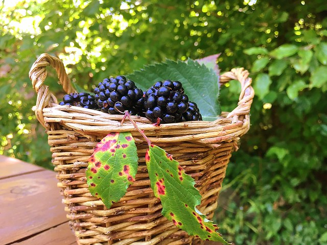 basket full of blackberries