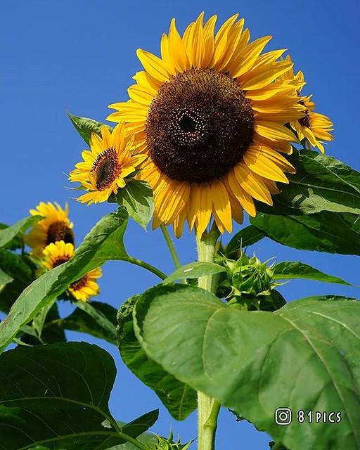 『ひまわり親子』 最近、夜の写真ばかりなので #青空 写真を #過去pic より。 一輪の大きな向日葵のまわりに咲く小さなひまわりたち。 #向日葵 #ひまわり #夏 #summer #はなまっぷ #flower #sunflower #写真好きな人と繋がりたい #ファインダー越しの私の世界 #love_bestjapan #bestjapanpics #deaf_b_j_ #キリトリセカイ #sumasumatai_love #best_moments_flora #bnwcsc_lovers_jp #広