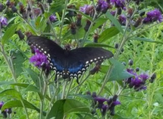 2019-08-21. Spicebush Swallowtail upper wing