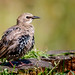 Common Starling-21.jpg