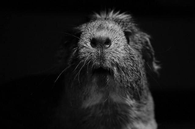 Guinea Pig 18